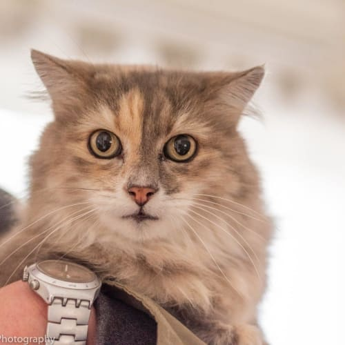 Samantha  - Domestic Medium Hair Cat