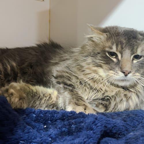 Fluffy - Domestic Medium Hair Cat