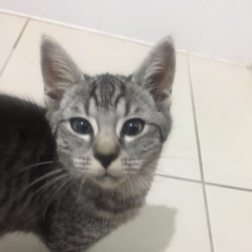 Lavender - Domestic Short Hair Cat