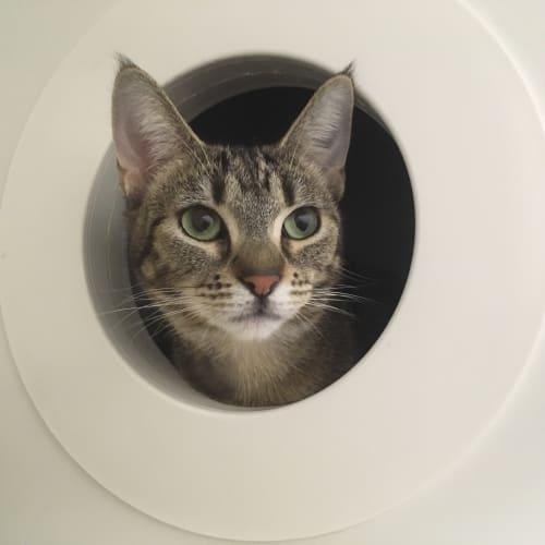Bagheera - Domestic Short Hair Cat