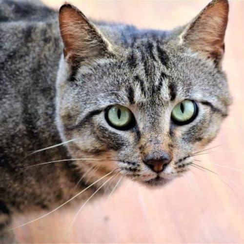 Trent - Domestic Short Hair Cat