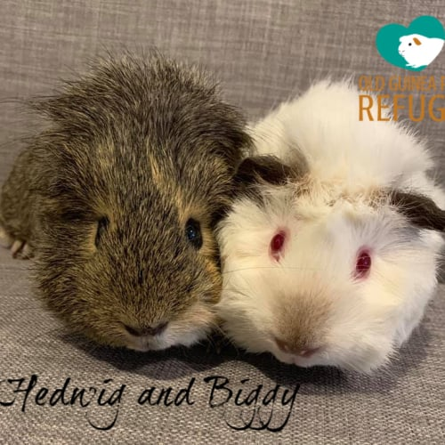 Hedwig and Biggy (desexed male) - Smooth Hair x Himalayan x Abyssinian Guinea Pig