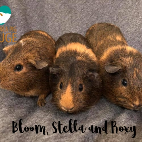 Bloom, Stella and Roxy - Smooth Hair Guinea Pig