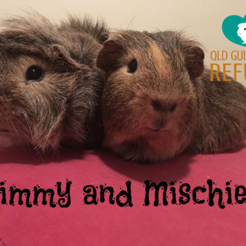 Jimmy and Mischief - Abyssinian x Smooth Hair Guinea Pig