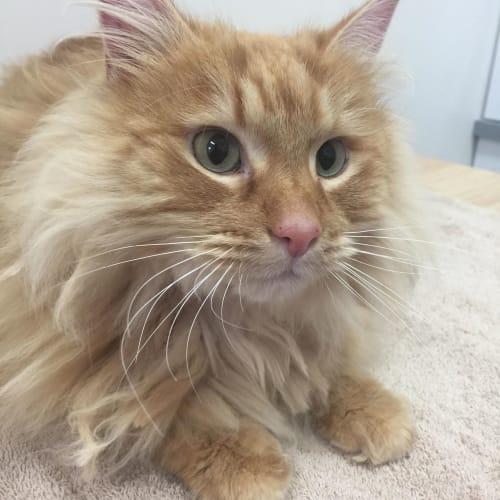Oscar -  Meet me in Cat Lounge/Neko HQ Preston - Domestic Medium Hair Cat