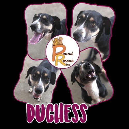 Duchess - Kelpie Dog