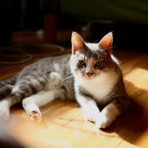 Tam - Domestic Short Hair Cat