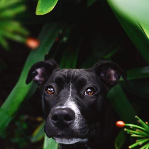 Jasmin - American Staffordshire Terrier Dog