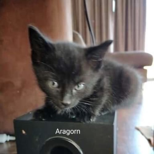 Aragon - Domestic Short Hair Cat