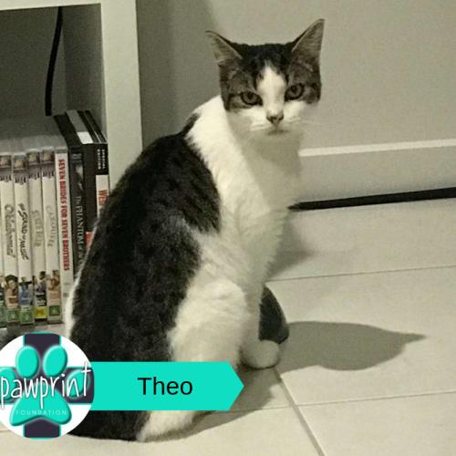 Theo - Domestic Medium Hair Cat