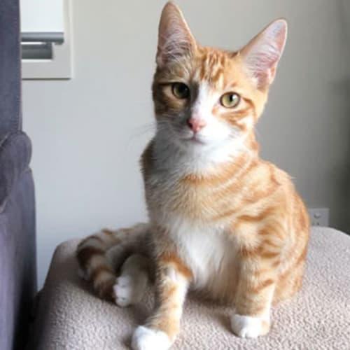 Marty McNamara - Domestic Short Hair Cat