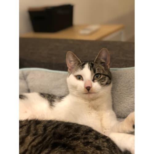 Tink (Located in Truganina) - Domestic Short Hair Cat