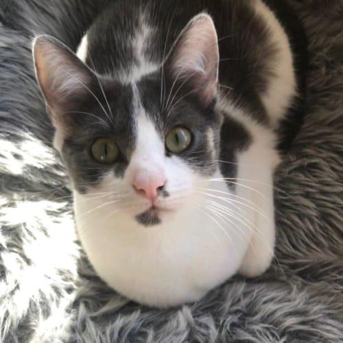 Ainsley Grey - Domestic Medium Hair Cat