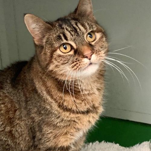 Nala ID46773 - Domestic Short Hair Cat
