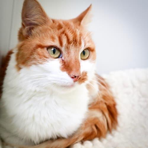 Penelope ID46237 - Domestic Medium Hair Cat
