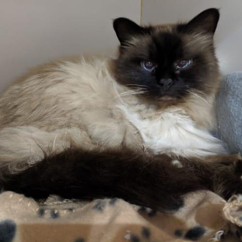 Aslan - Birman Cat