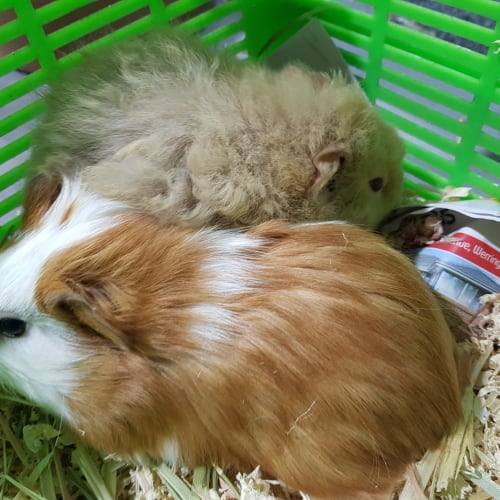 Cuddlepie ( friend of Willow) -  Guinea Pig