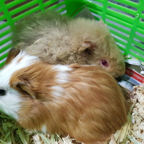 Willow ( friend of CuddlePie) -  Guinea Pig