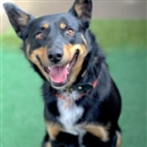Bruce - Kelpie Dog
