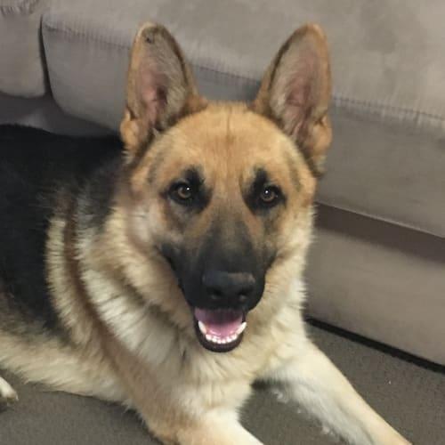 Kovu - German Shepherd Dog