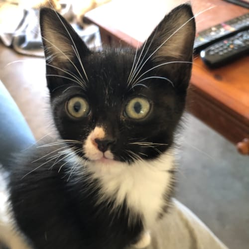 Clancy - Domestic Short Hair Cat