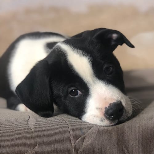 Dollop - Border Collie Dog