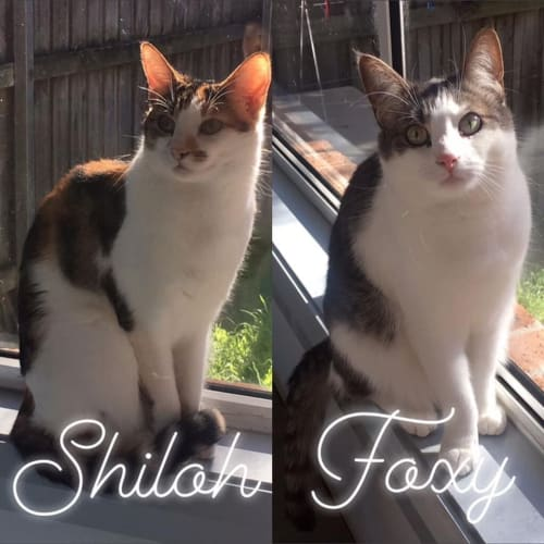 Shiloh and  Foxy - Domestic Short Hair Cat