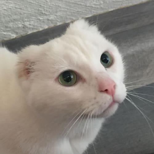 Miles -  Meet me in Cat Lounge/Neko HQ Preston - Domestic Short Hair Cat