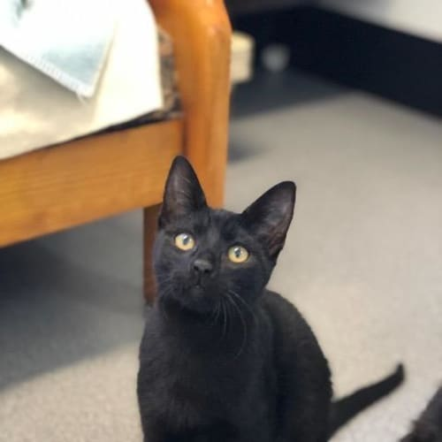 Toothless - Domestic Short Hair Cat