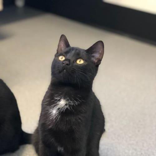 Aragon - Domestic Short Hair Cat