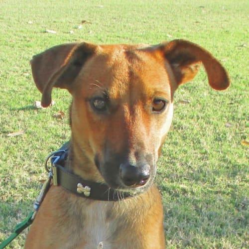 Roy - Mixed Breed Dog