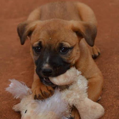 Ellie - Kelpie x Mixed Breed Dog