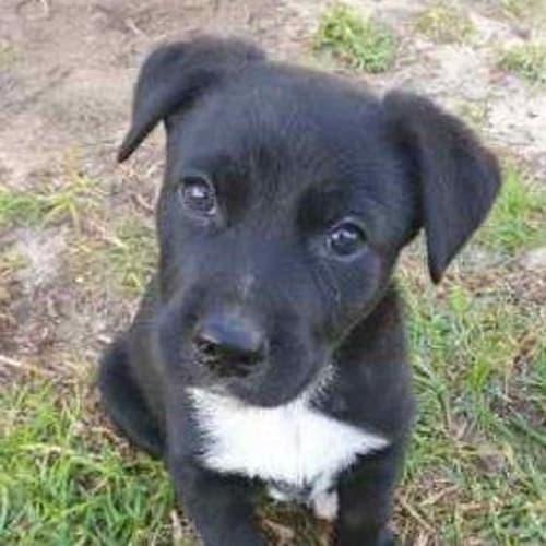 Mojo - Border Collie x Red Heeler Dog