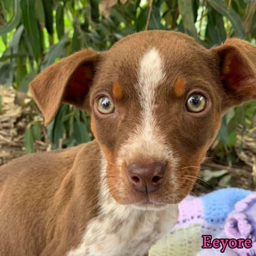 Eeyore - Australian Cattle Dog