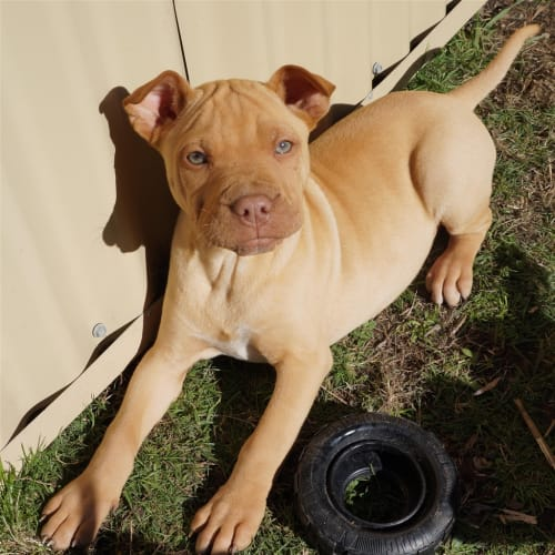 Rachael - Staffordshire Bull Terrier Dog