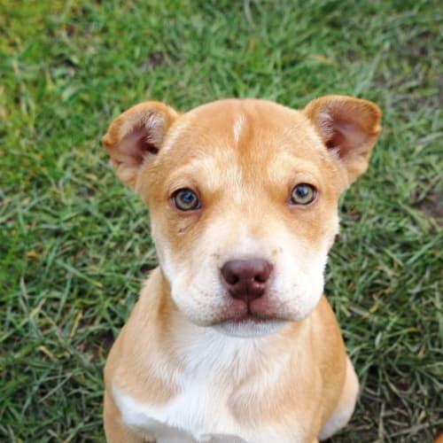 Rayla - Staffordshire Bull Terrier Dog