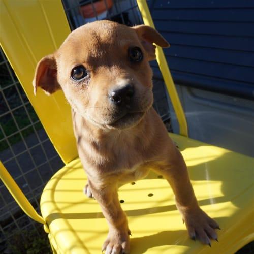 Rona - Staffordshire Bull Terrier Dog