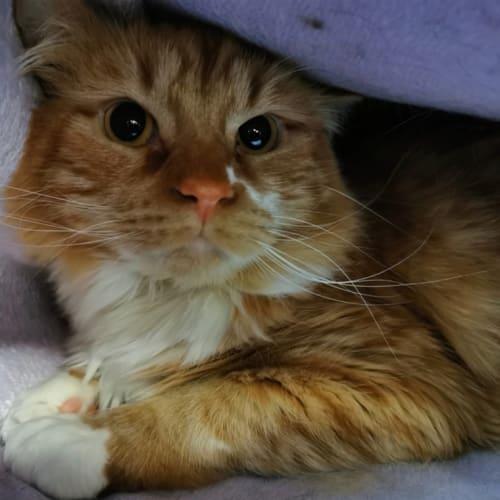 Max - Manx Cat