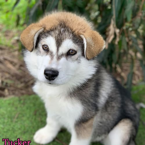 Tucker - Alaskan Malamute Dog