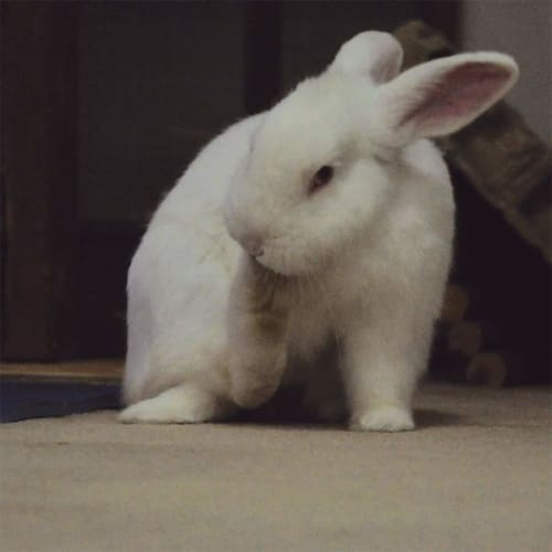 Winston - Domestic Rabbit