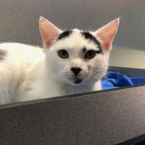Riva - Domestic Short Hair Cat
