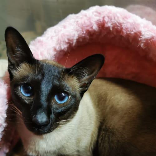 Rowan - Siamese Cat