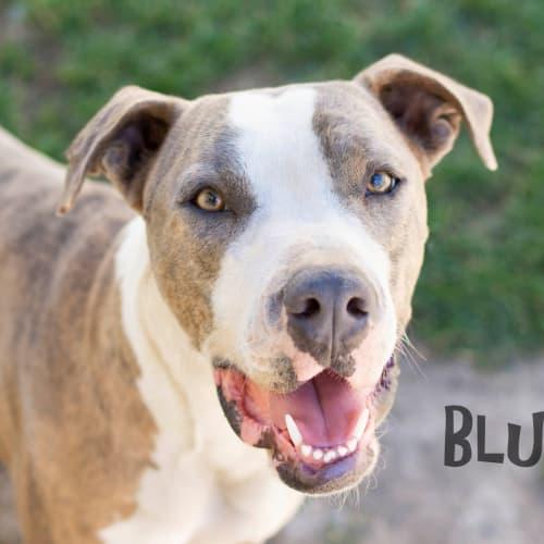 Bluey - Staffy Dog