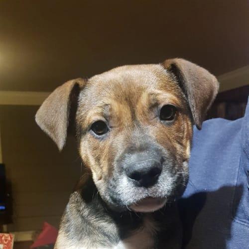 Cassius  - Bullmastiff x Siberian Husky Dog