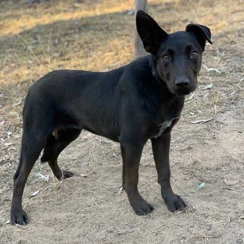 Kathleen - Kelpie Dog