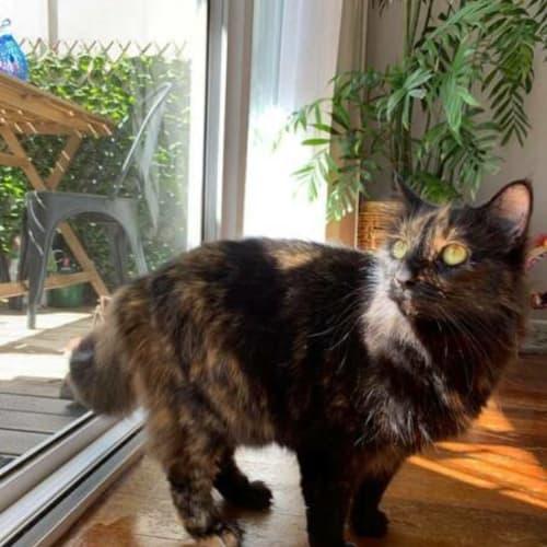 Kit Kat - Domestic Medium Hair Cat