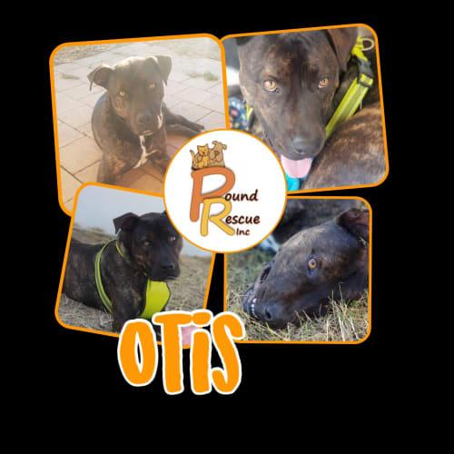 Otis - Staffy Dog
