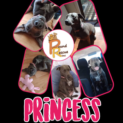 Princess - Amstaff Dog