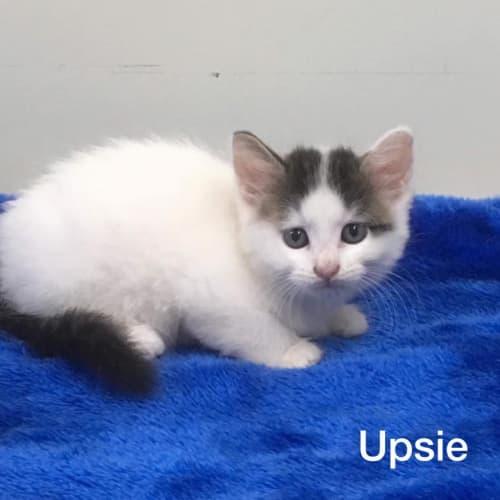 Upsie - Domestic Medium Hair Cat