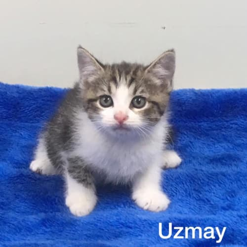 Uzmay - Domestic Medium Hair Cat
